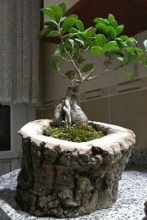 Ahşap kütük içerisinde ginseng bonsai  Manisa çiçek yolla , çiçek gönder , çiçekçi