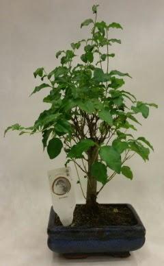 Minyatür bonsai japon ağacı satışı  Manisa anneler günü çiçek yolla