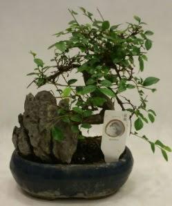 İthal 1.ci kalite bonsai japon ağacı  Manisa hediye sevgilime hediye çiçek
