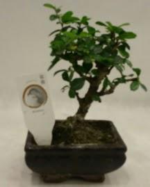 Küçük minyatür bonsai japon ağacı  Manisa 14 şubat sevgililer günü çiçek