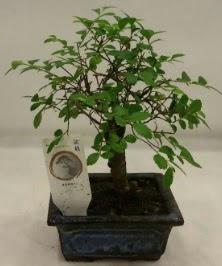 Minyatür ithal japon ağacı bonsai bitkisi  Manisa hediye sevgilime hediye çiçek