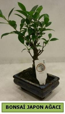 Bonsai japon ağacı saksı bitkisi  Manisa çiçekçi mağazası