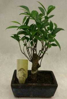 Japon ağacı bonsai bitkisi satışı  Manisa anneler günü çiçek yolla