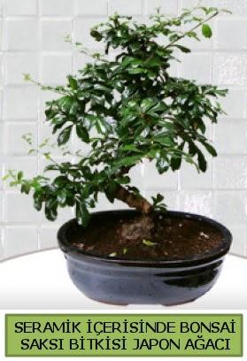 Seramik vazoda bonsai japon ağacı bitkisi  Manisa güvenli kaliteli hızlı çiçek