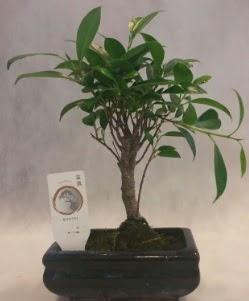 Bonsai japon ağacı bitkisi satışı  Manisa cicekciler , cicek siparisi