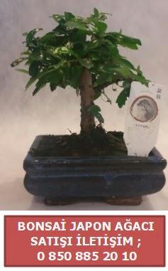 Japon ağacı minyaür bonsai satışı  Manisa hediye sevgilime hediye çiçek