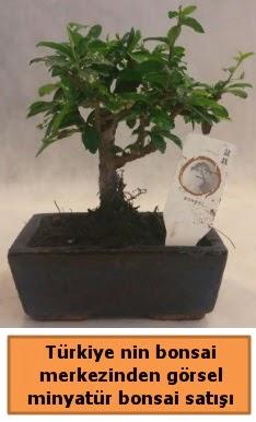 Japon ağacı bonsai satışı ithal görsel  Manisa uluslararası çiçek gönderme