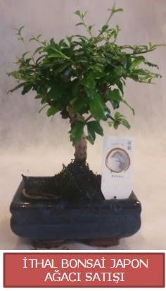 İthal küçük boy minyatür bonsai ağaç bitkisi  Manisa anneler günü çiçek yolla