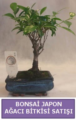 İthal Bonsai japon ağacı bitkisi satışı  Manisa cicek , cicekci
