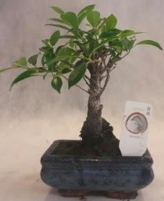 Bonsai ağacı japon ağaç bitkisi  Manisa uluslararası çiçek gönderme