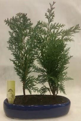 SINIRLI SAYIDA Selvi Ağacı bonsai ikili  Manisa anneler günü çiçek yolla