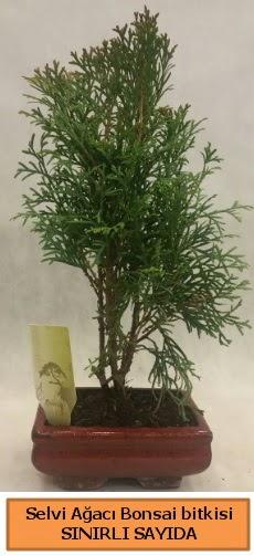 Selvi ağacı bonsai japon ağacı bitkisi  Manisa hediye sevgilime hediye çiçek