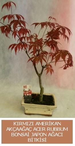 Amerikan akçaağaç Acer Rubrum bonsai  Manisa çiçekçi telefonları