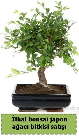 İthal bonsai saksı çiçeği Japon ağacı satışı  Manisa cicek , cicekci