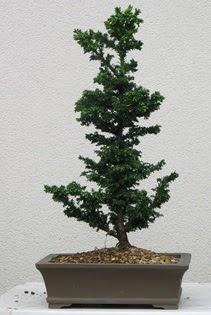 Çam ağacı bonsai bitkisi satışı  Manisa anneler günü çiçek yolla