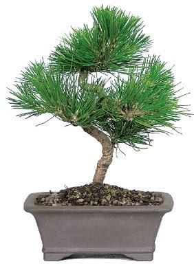 Çam ağacı bonsai japon ağacı bitkisi  Manisa 14 şubat sevgililer günü çiçek