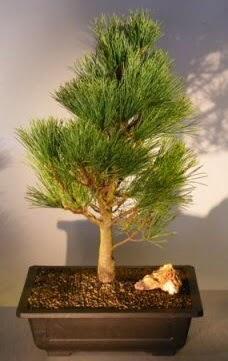 Çam ağacı japon ağacı bitkisi bonsai  Manisa anneler günü çiçek yolla