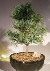 Çam ağacı bonsai bitkisi satışı  Manisa çiçek servisi , çiçekçi adresleri