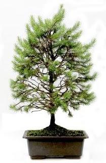 *** STOKTA YOK - Çam ağacı bonsai bitkisi satışı  Manisa çiçek gönderme