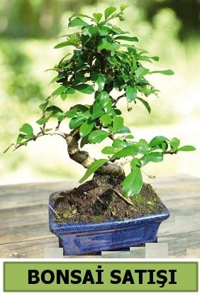 Çam bonsai japon ağacı satışı  Manisa hediye sevgilime hediye çiçek