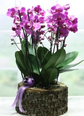 Kütük içerisinde 6 dallı mor orkide  Manisa çiçek servisi , çiçekçi adresleri