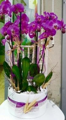 Seramik vazoda 4 dallı mor lila orkide  Manisa çiçek gönderme sitemiz güvenlidir