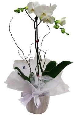 Tek dallı beyaz orkide  Manisa çiçek yolla