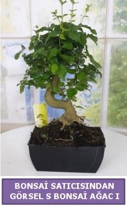 S dal eğriliği bonsai japon ağacı  Manisa hediye sevgilime hediye çiçek