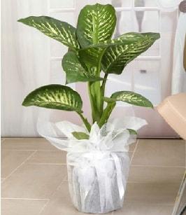 Tropik saksı çiçeği bitkisi  Manisa hediye sevgilime hediye çiçek