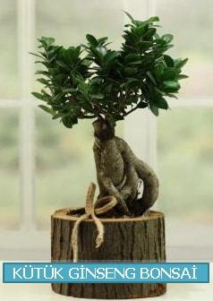 Kütük ağaç içerisinde ginseng bonsai  Manisa cicekciler , cicek siparisi