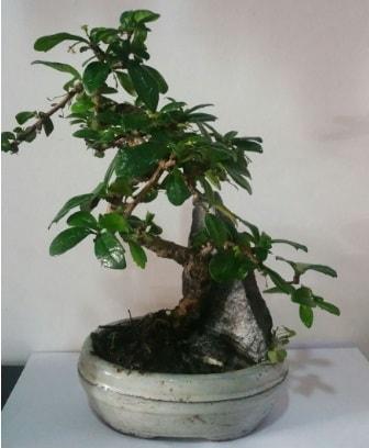 S şeklinde ithal bonsai ağacı  Manisa uluslararası çiçek gönderme