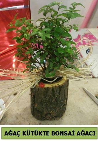 Doğal ağaç kütük içerisinde bonsai ağacı  Manisa cicekciler , cicek siparisi