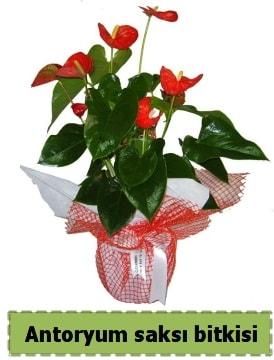 Antoryum saksı bitkisi satışı  Manisa çiçek online çiçek siparişi