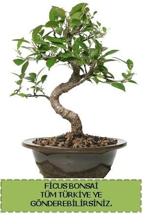 Ficus bonsai  Manisa cicekciler , cicek siparisi