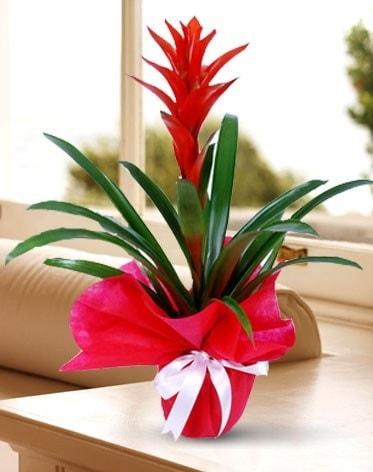 Guzmanya Saksı Çiçeği  Manisa uluslararası çiçek gönderme