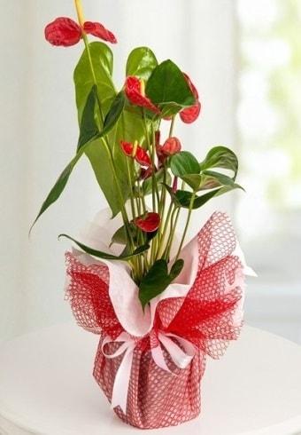 Anthurium Saksı Çiçeği  Manisa çiçek mağazası , çiçekçi adresleri