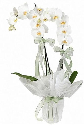 Çift Dallı Beyaz Orkide  Manisa çiçek , çiçekçi , çiçekçilik