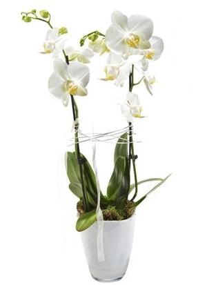 2 dallı beyaz seramik beyaz orkide saksısı  Manisa cicekciler , cicek siparisi