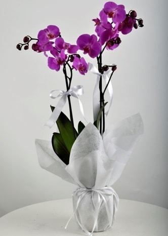 Çift dallı saksıda mor orkide çiçeği  Manisa İnternetten çiçek siparişi
