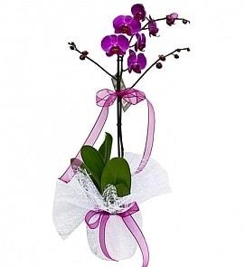 Tek dallı saksıda ithal mor orkide çiçeği  Manisa online çiçekçi , çiçek siparişi