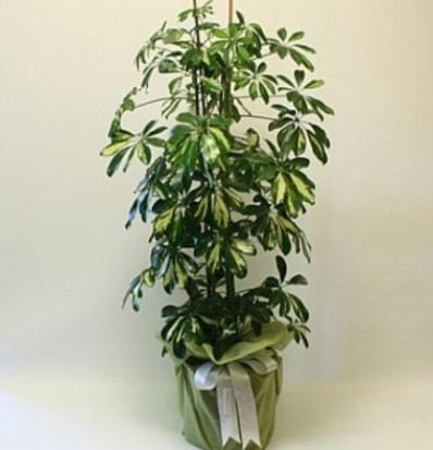 Şeflera salon bitkisi  Manisa 14 şubat sevgililer günü çiçek