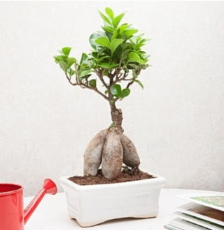 Exotic Ficus Bonsai ginseng  Manisa çiçekçi mağazası