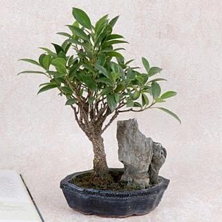 Japon ağacı Evergreen Ficus Bonsai  Manisa cicekciler , cicek siparisi