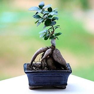 Marvellous Ficus Microcarpa ginseng bonsai  Manisa İnternetten çiçek siparişi