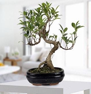 Gorgeous Ficus S shaped japon bonsai  Manisa internetten çiçek siparişi