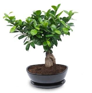 Ginseng bonsai ağacı özel ithal ürün  Manisa yurtiçi ve yurtdışı çiçek siparişi