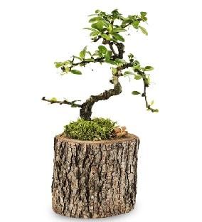 Doğal kütükte S bonsai ağacı  Manisa hediye sevgilime hediye çiçek