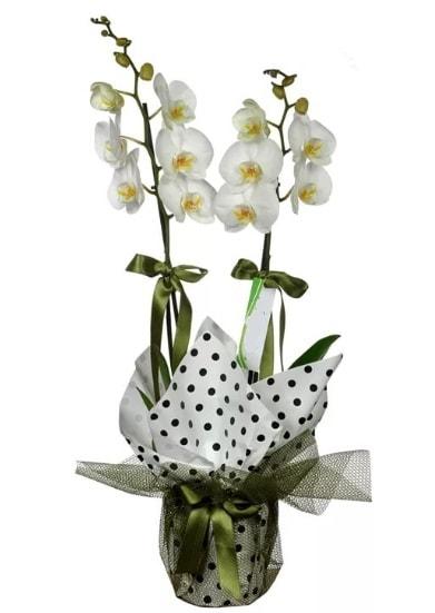 Çift Dallı Beyaz Orkide  Manisa çiçek satışı