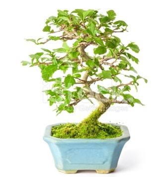 S zerkova bonsai kısa süreliğine  Manisa cicek , cicekci