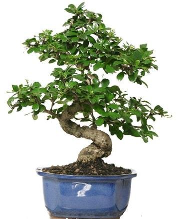 21 ile 25 cm arası özel S bonsai japon ağacı  Manisa anneler günü çiçek yolla